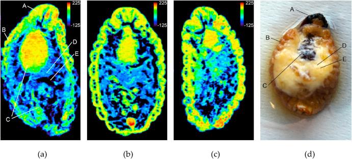 Análisis por tomografía computarizada por rayos x de picudo rojo en estado de larva. Fuente: T. León-Quinto et al. Journal of Thermal Biology 94 (2020) 102748